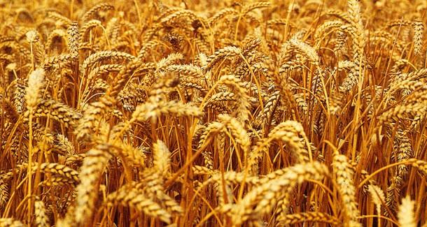 Otkup merkatilne pšenice ovogodišnjeg roda